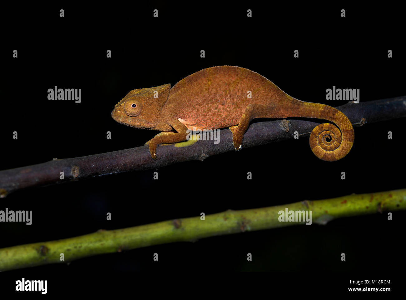 Short-horned Chameleon - Calumma brevicorne, Madagascar rain forest. Beautiful coloured lizard. Elephant ear. - Stock Image