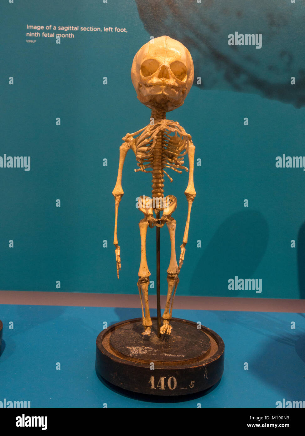Human child fetal skeleton at 5 months on display in the National Museum of Health and Medicine, Silver Spring, - Stock Image