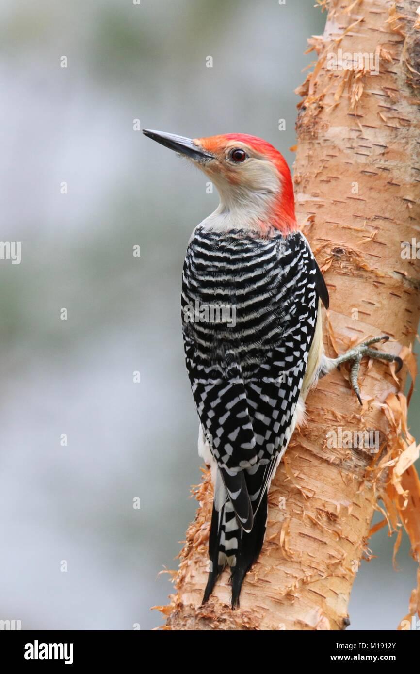 A male red bellied woodpecker (Melanerpes carolinus) perching on a birch branch in winter. - Stock Image
