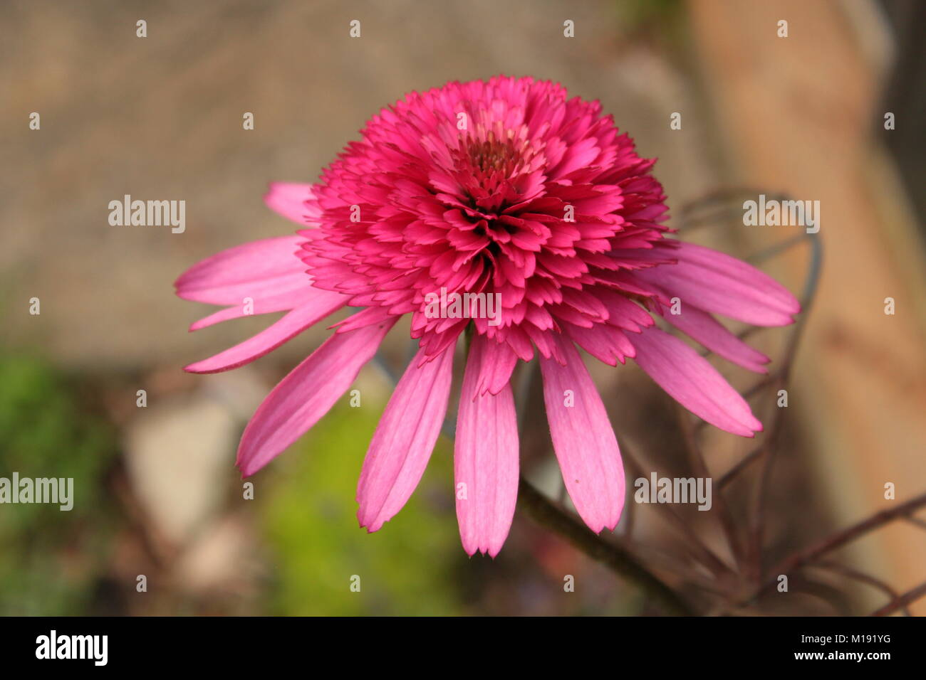 Double Purple Cone Flower close-up. - Stock Image
