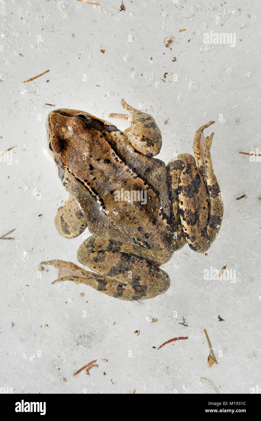 Frog trapped in ice. European common grass frog stuck in ice during winter Stock Photo