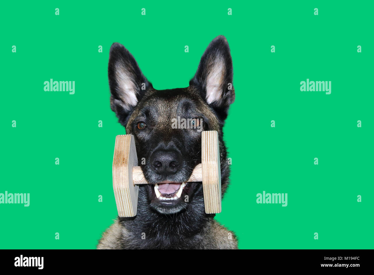 a portrait of Belgian Malinois shepherd dog with a wooden dumbbell between the teeth for the  portable object , - Stock Image
