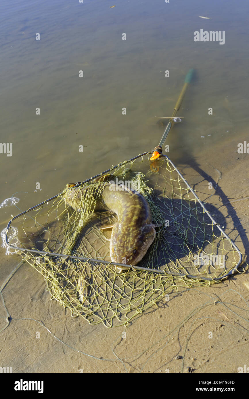 Caught burbot lies near the river bank in a fishing net - Stock Image