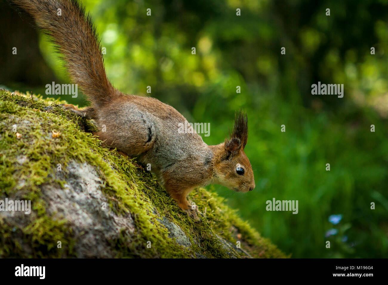Squirrel in the Open Air Museum, Seurasaari Island, Helsinki, Finland - Stock Image