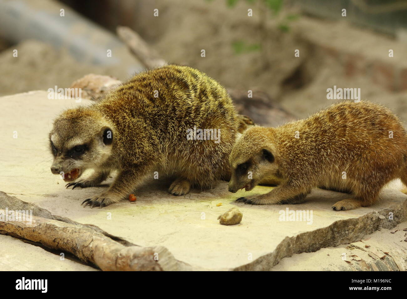 Meerkat in the zoo - Stock Image