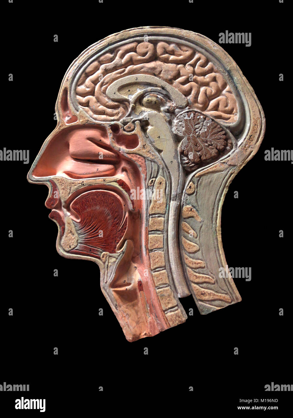 Anatomical Model Of Human Skull And Brain Stock Photos Anatomical