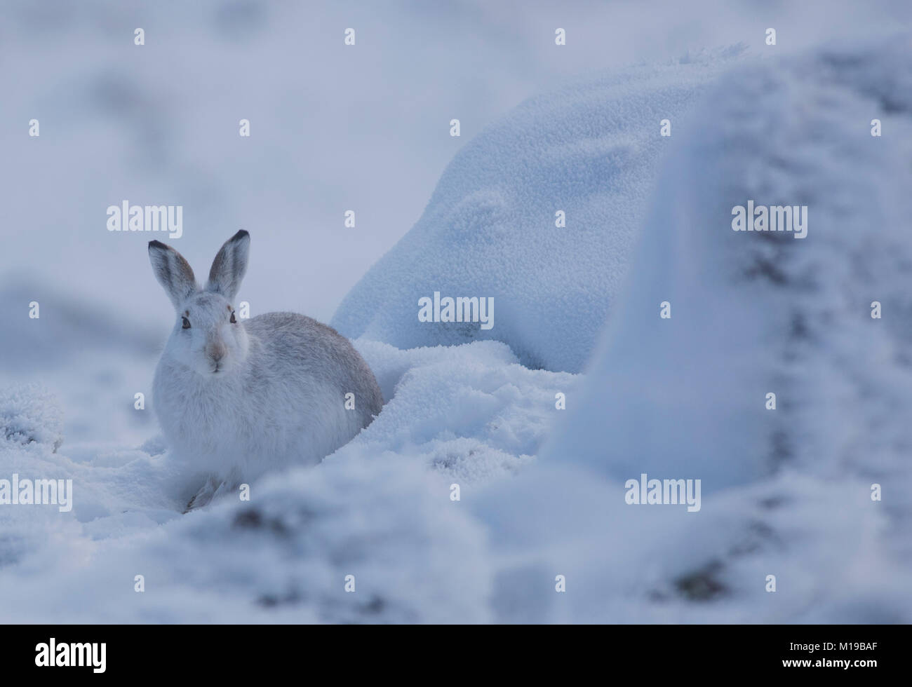 Mountain Hare Lepus timidus in its winter white coat in snow on a Scottish Mountain. - Stock Image