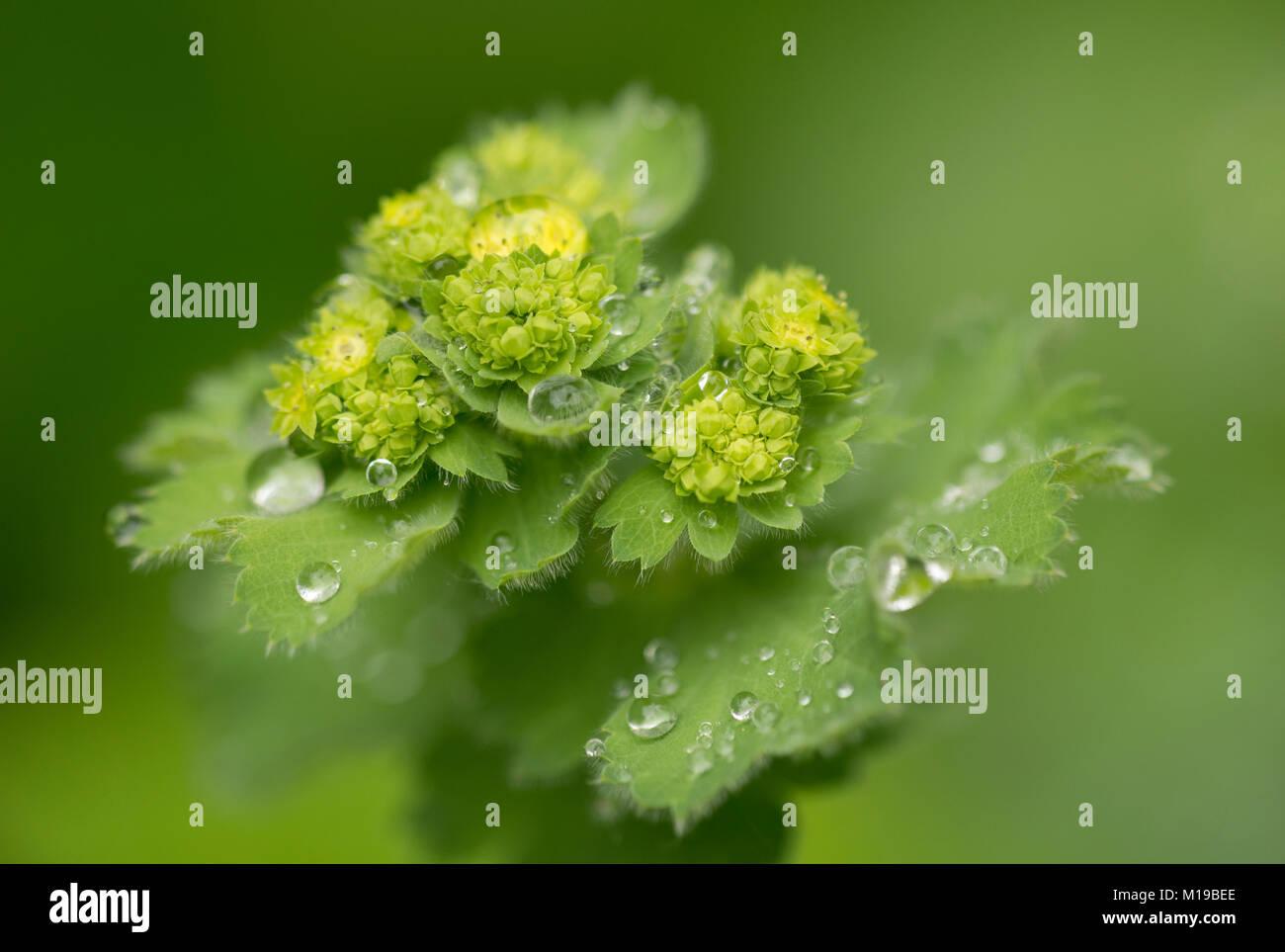 Alchemilla mollis - Frauenmantel - Stock Image