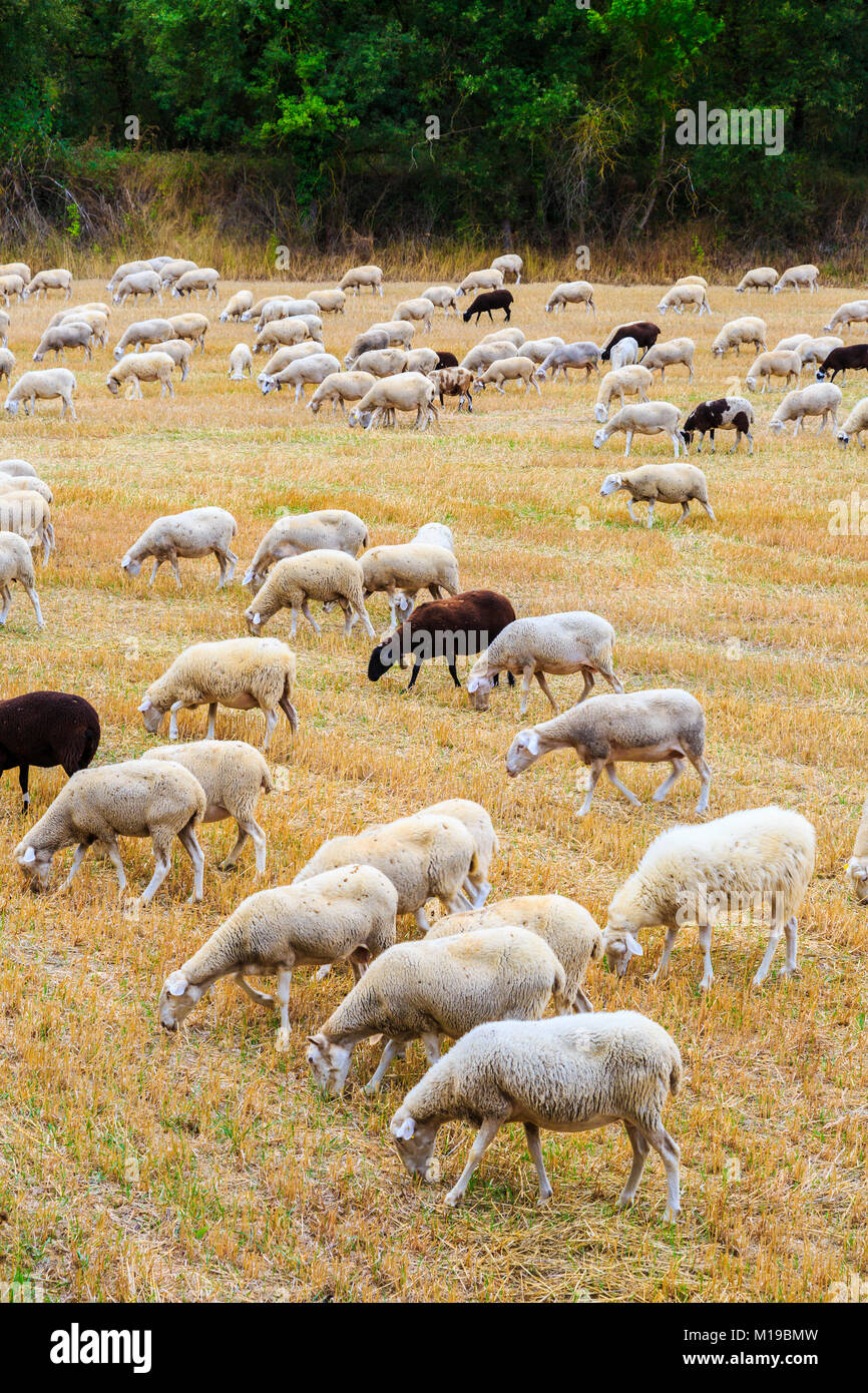 Flock of sheeps in a wheat field. - Stock Image