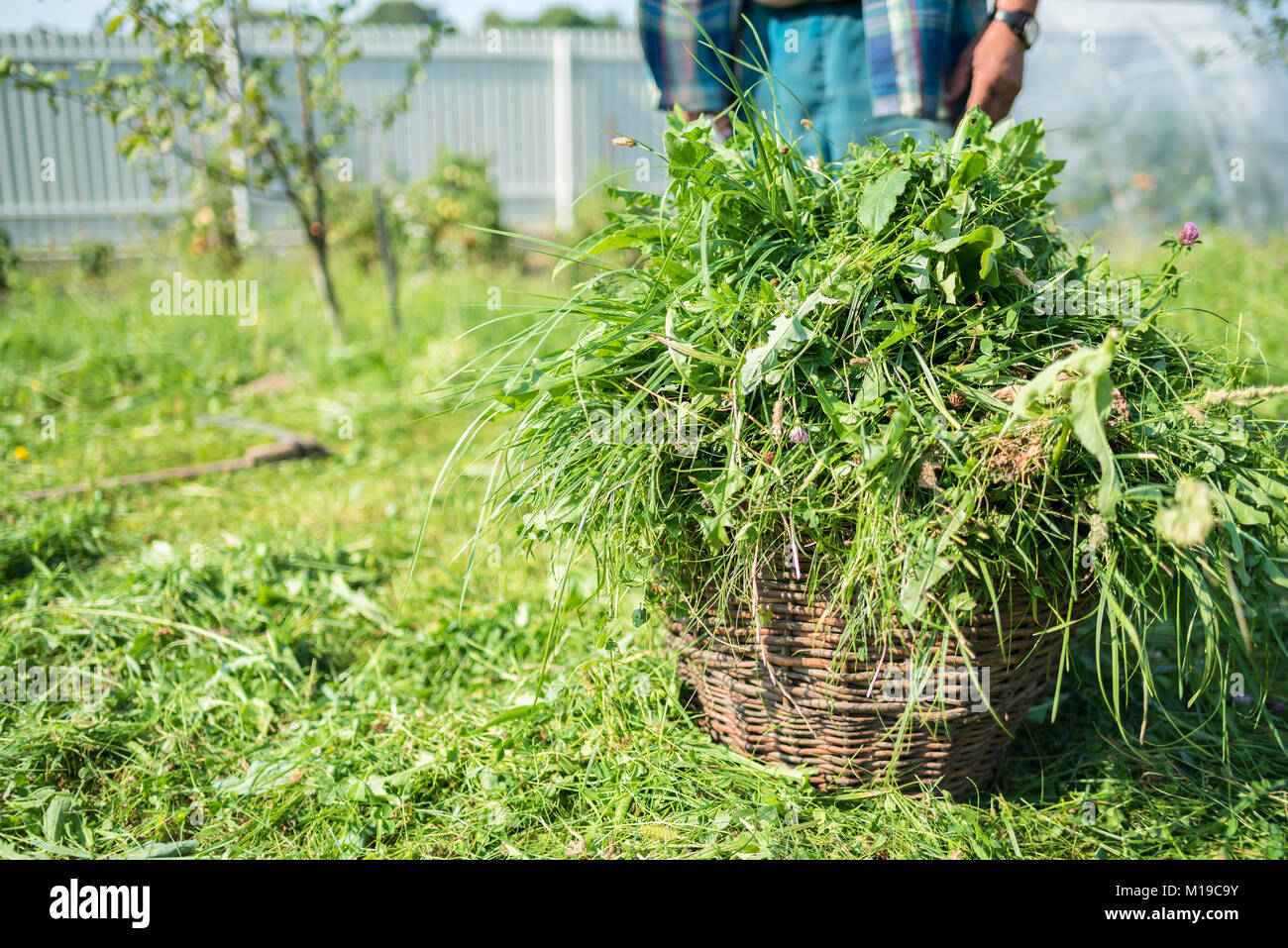 Cut grass are in a basket, scythe, mow grass with a hand tool, handmade, outdated method, countryside, copy space, - Stock Image