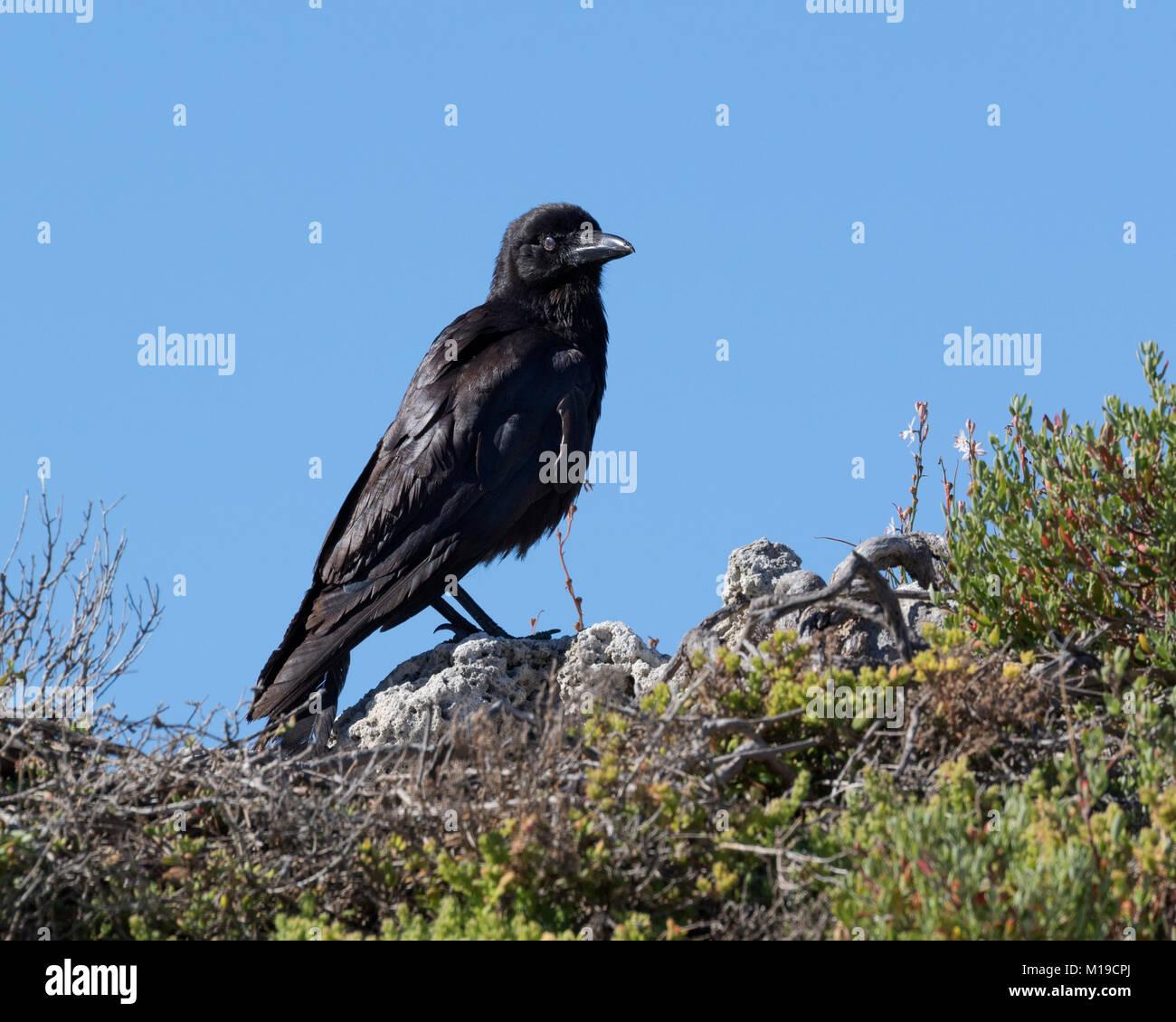 An Australian raven (Corvus coronoides) on Rottnest Island, Perth, Western Australia - Stock Image