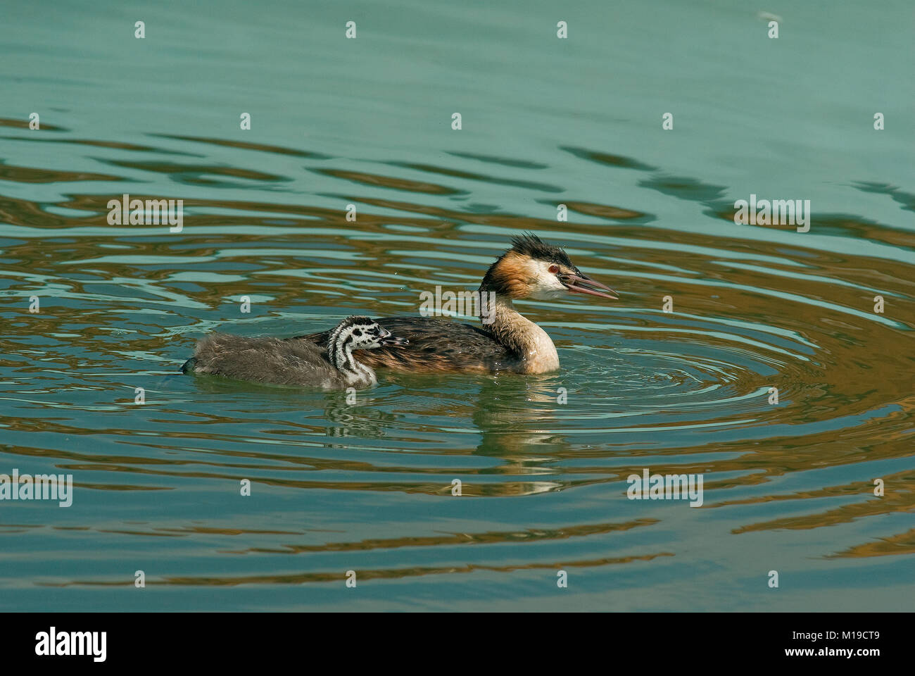 Great crested grebe (Podiceps cristatus) with her young, Lake Trasimeno, Umbria, Italy - Stock Image