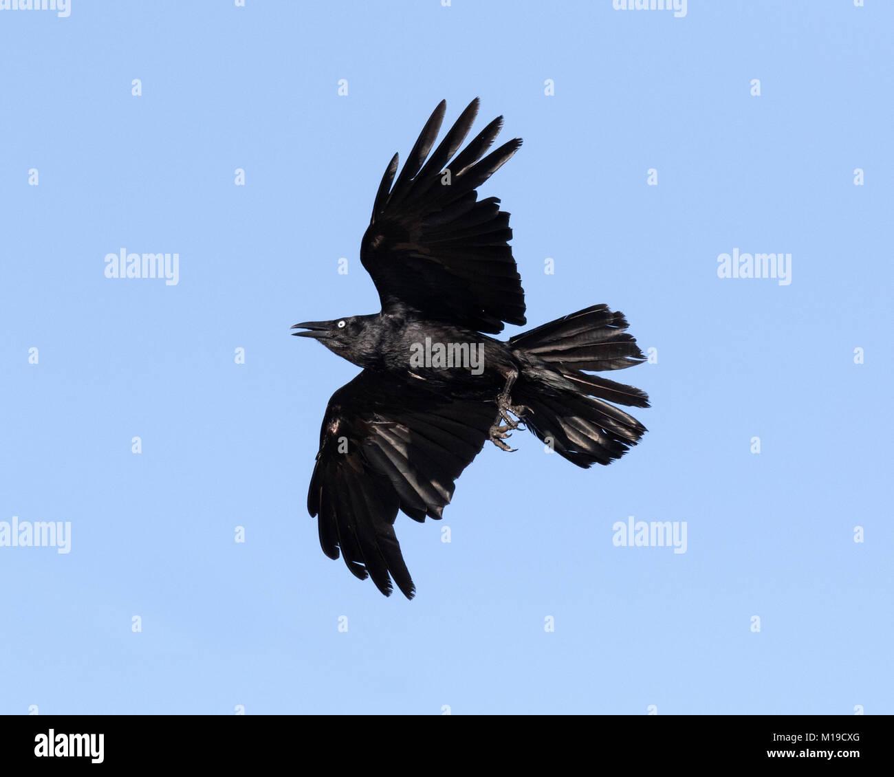 An Australian raven (Corvus coronoides) in flight over Rottnest Island, Perth, Western Australia - Stock Image