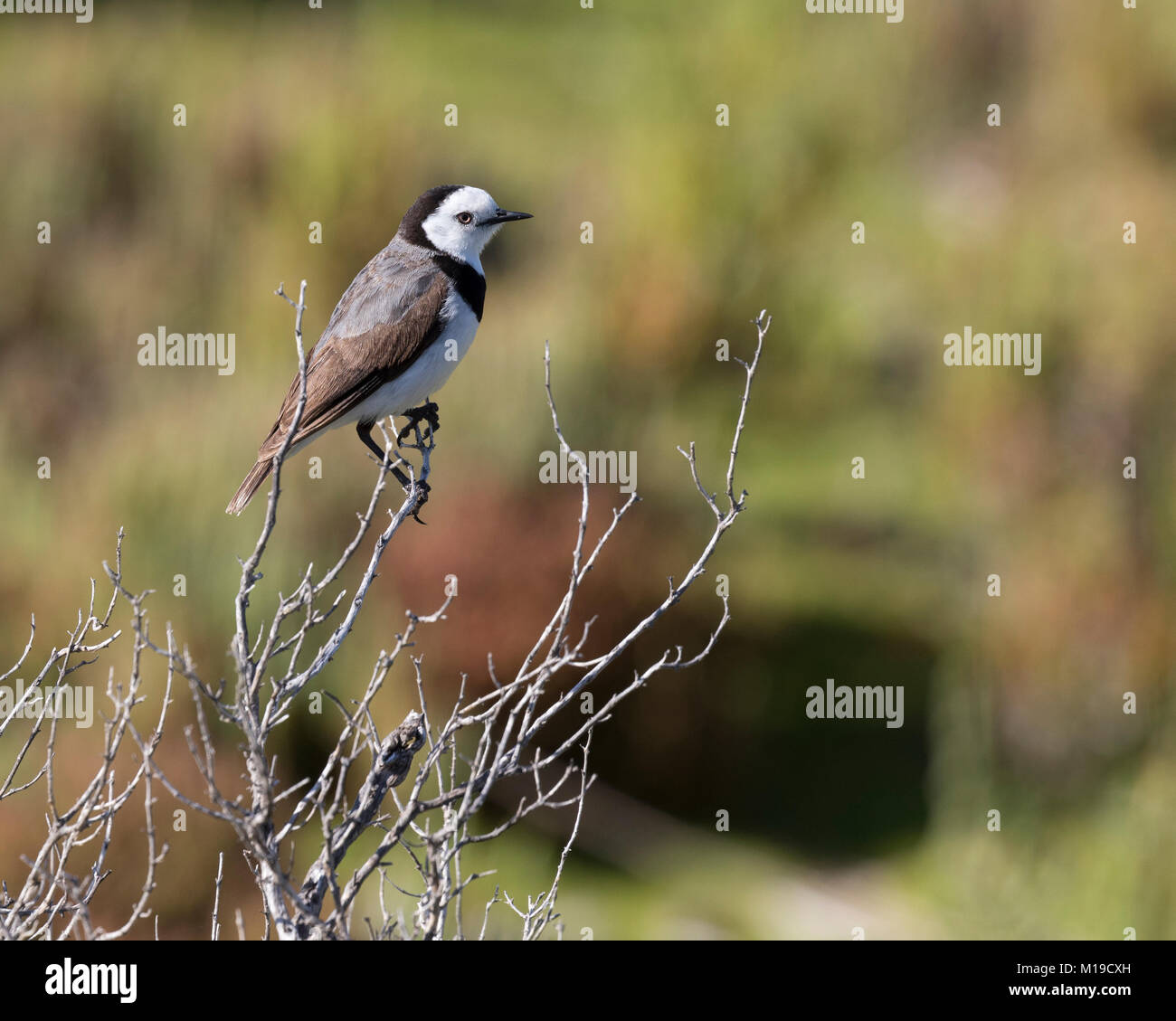 A White-fronted Chat (Epthianura albifrons) on Rottnest Island, Perth, Western Australia - Stock Image