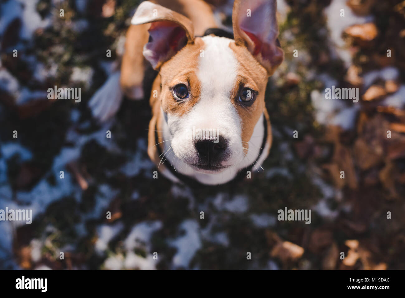 A 11 week old beagle mix puppy looks up toward the camera on a sunny day - Stock Image