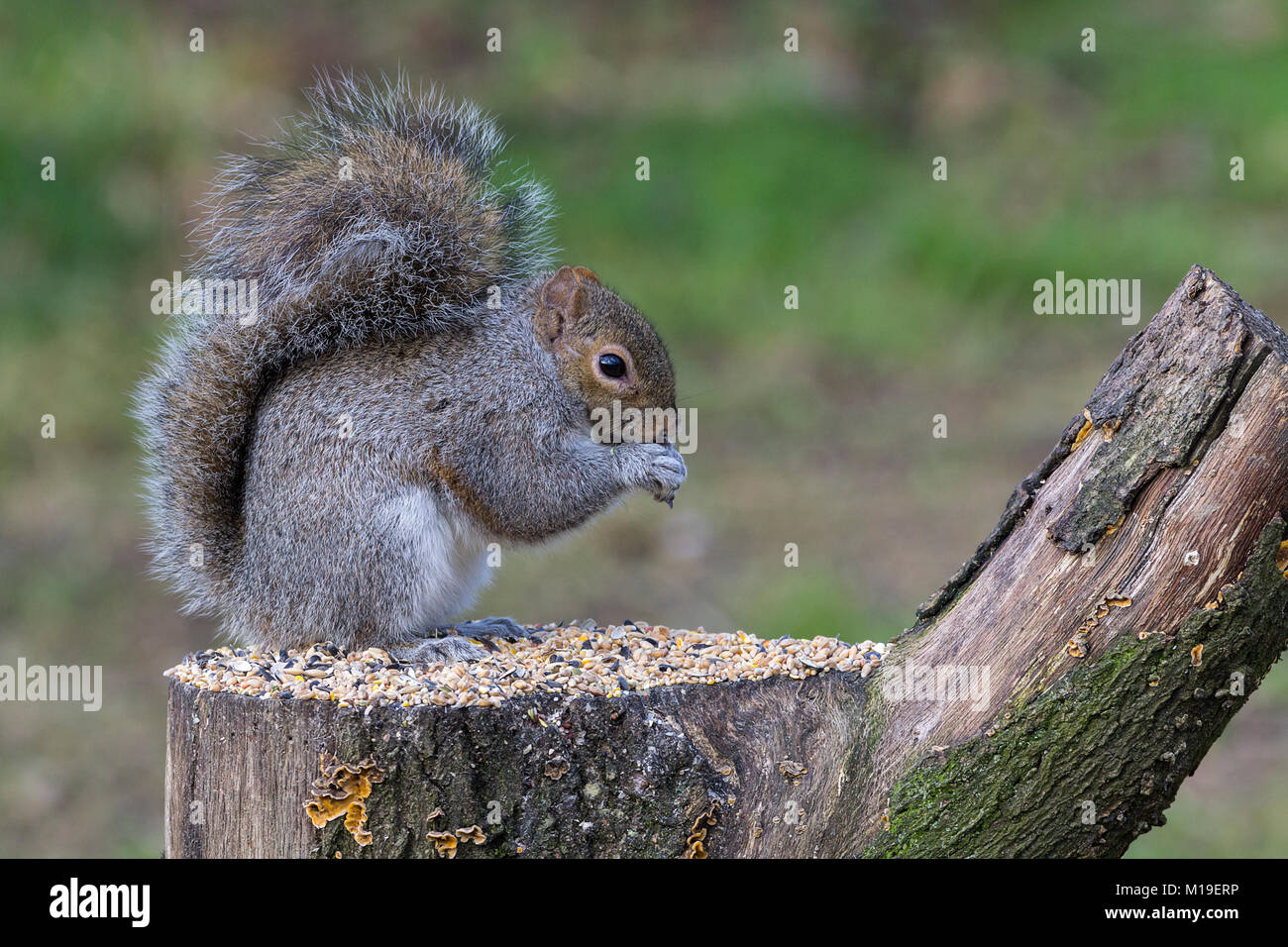 Grey squirrel (Sciurus carolinensis) feeding on bird seed at a hide in Warnham wildlife reserve Horsham West Sussex Stock Photo
