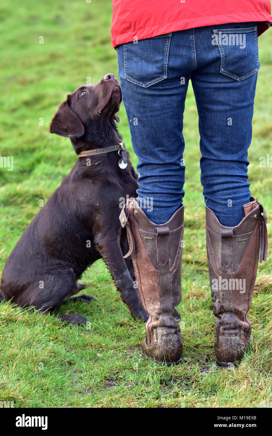 Lady or woman walking the dog wearing jeans with muddy country boots. Chocolate or brown labradinger or springador - Stock Image
