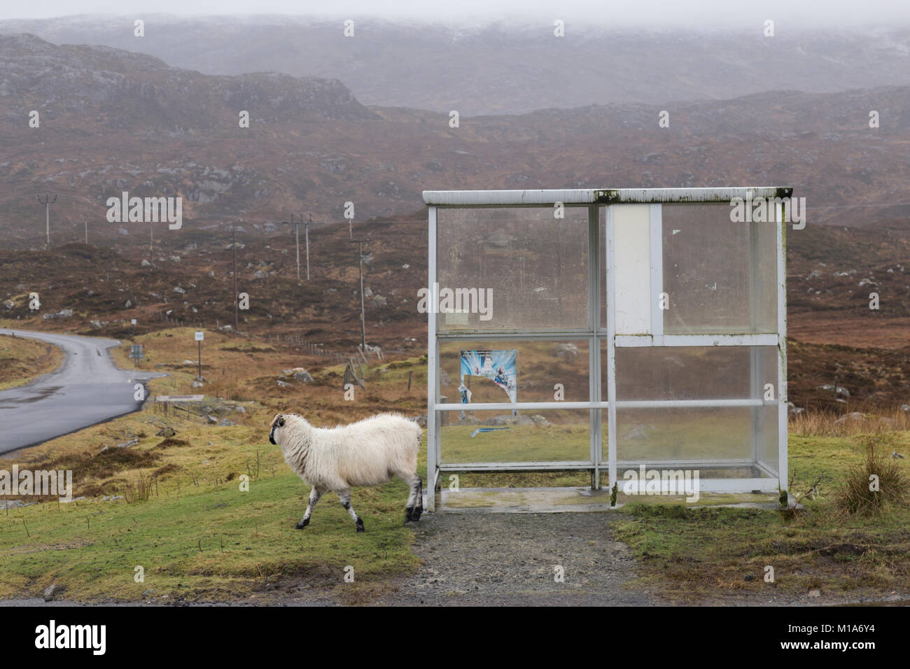 Sheep at bus shelter in the Outer Hebrides - Stock Image