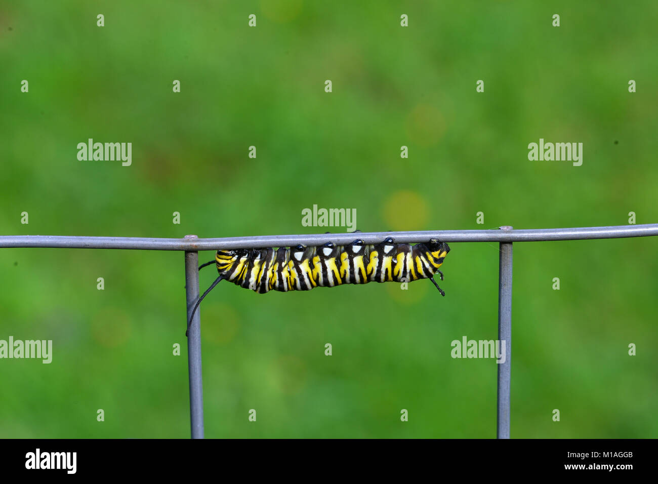 Caterpillar Hanging Stock Photos Images Fence 16 2 Butterfly New Monarch Danaus Plexippus On A Wire In The Yard