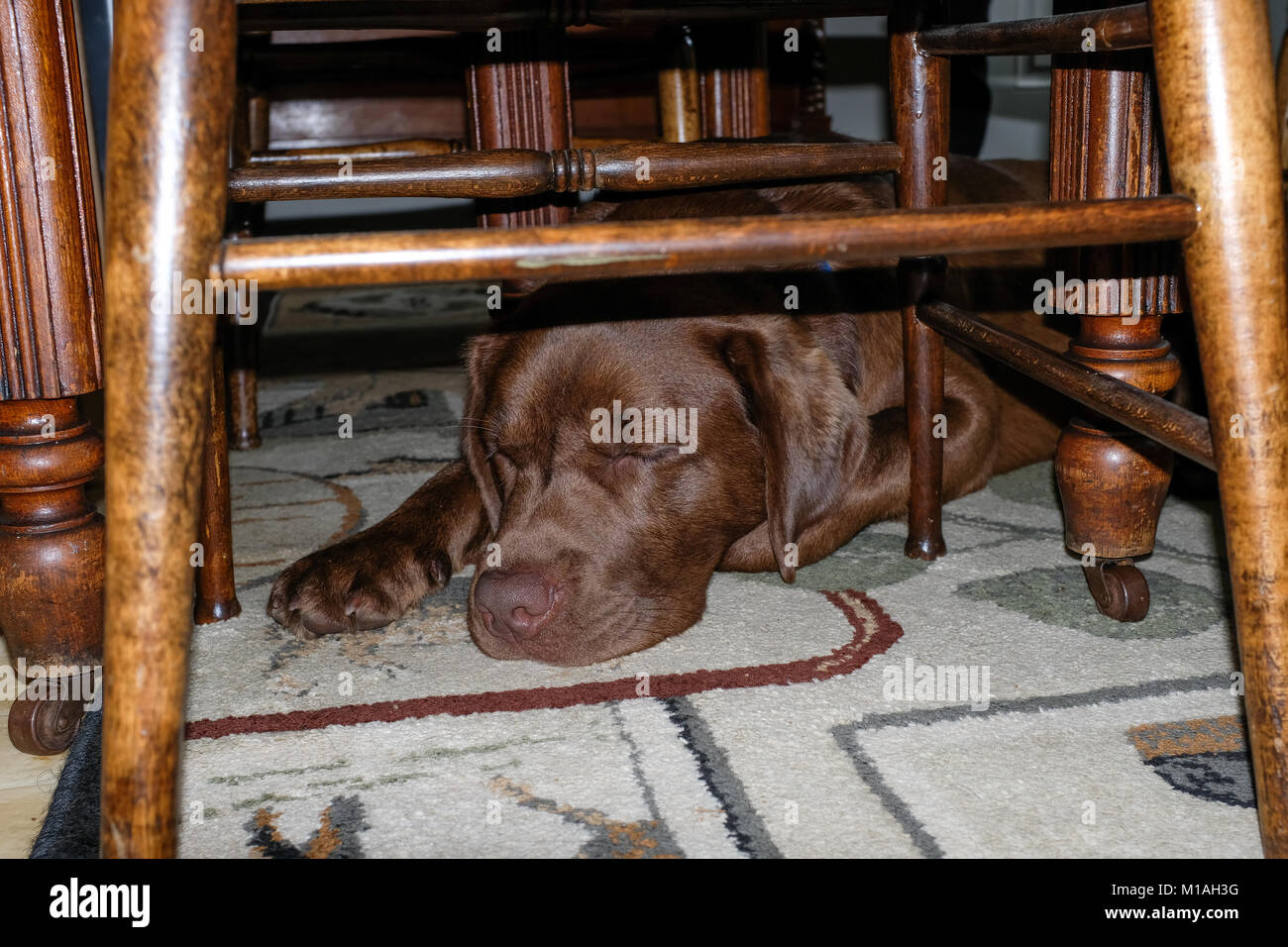 Tired chocolate Labrador Retriever sleeping under the dining room table. - Stock Image