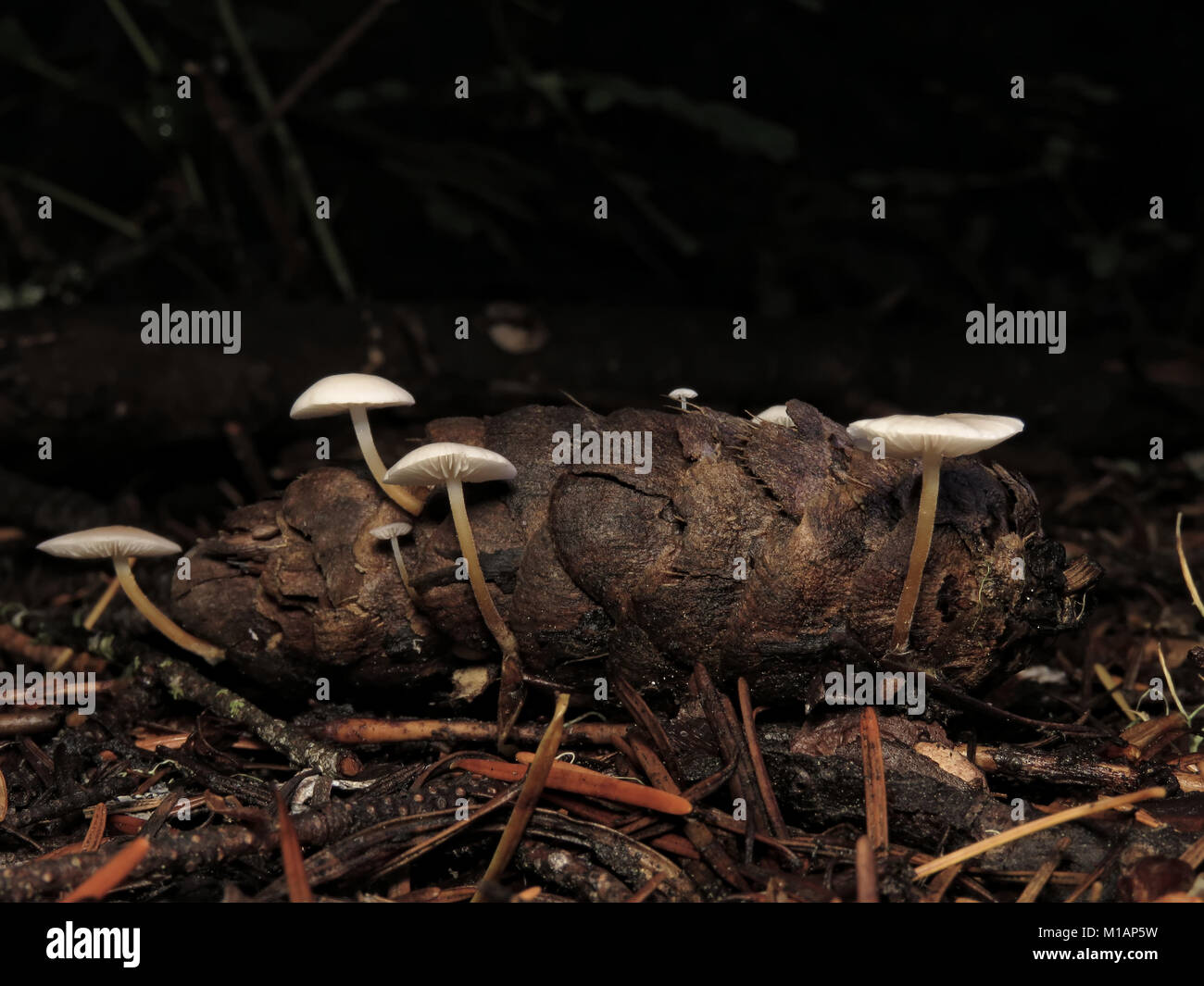 Tiny mushrooms growing out of a conifer cone in a Pacific Northwest forest - Stock Image