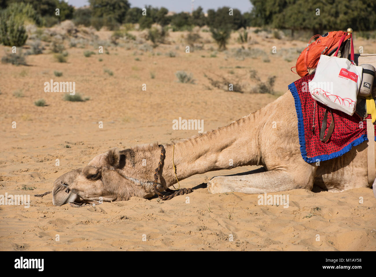 Tired camel in the Thar Desert, Rajasthan, India - Stock Image