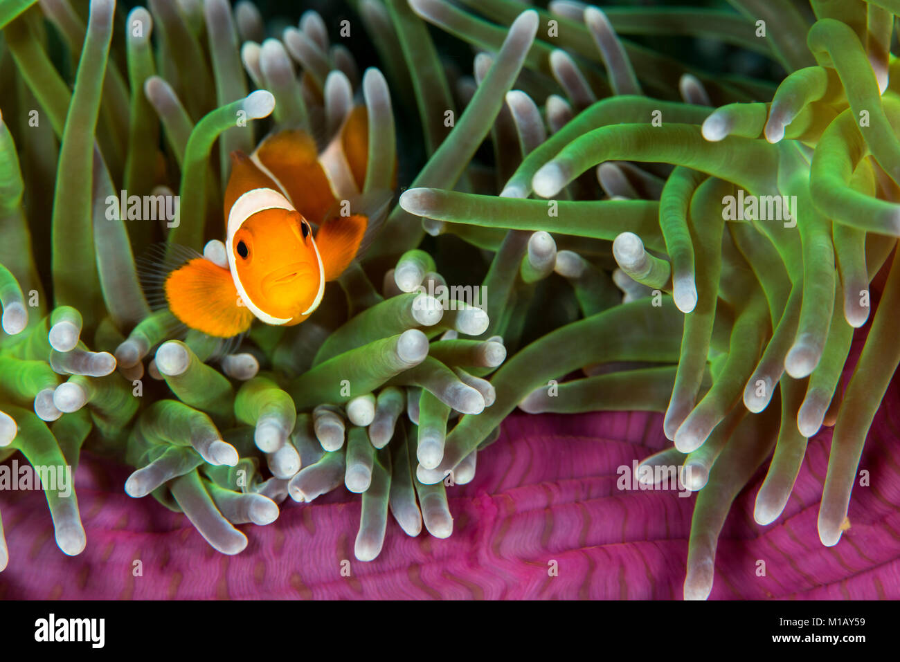 An underwater photo of a juvenile False Clown Anemonefish looking out from the edge of a Magnificent Sea Anemone, Stock Photo