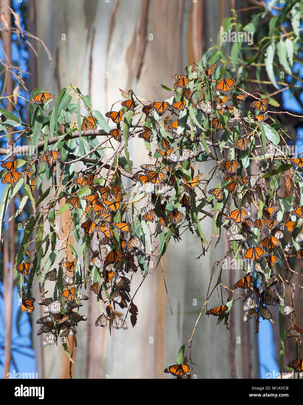Many Monarch Butterflies clustered in a Eucalyptus Tree, trunk of the tree in the background. The monarch butterfly - Stock Image