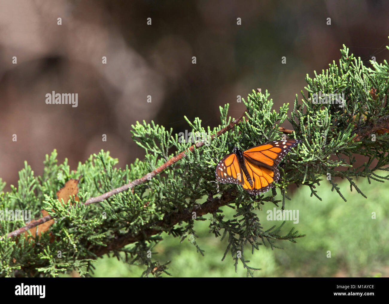 Monarch Butterfly in a pine tree. The monarch butterfly may be the most familiar North American butterfly and an - Stock Image