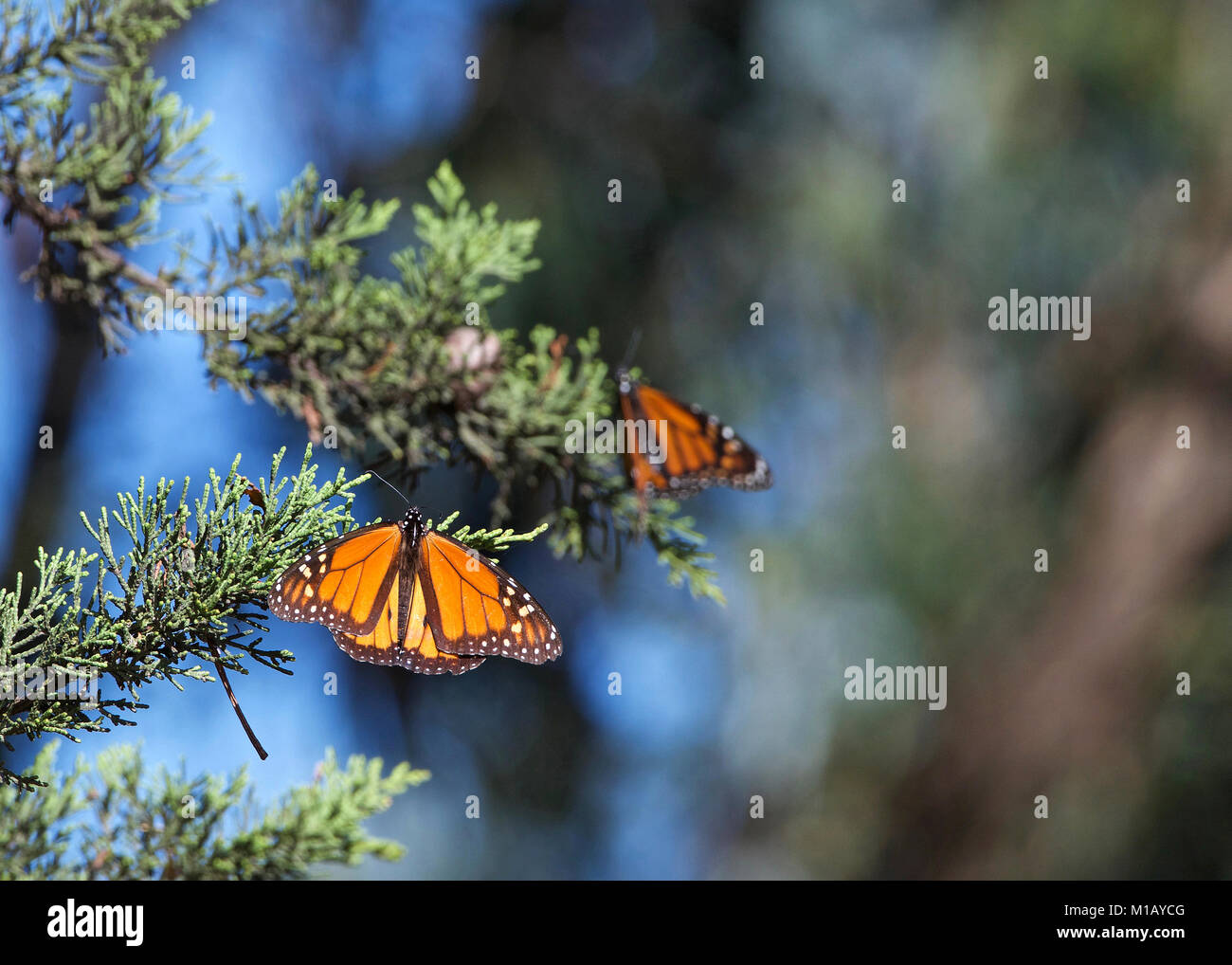 Two Monarch Butterflies in a pine tree. The monarch butterfly may be the most familiar North American butterfly - Stock Image