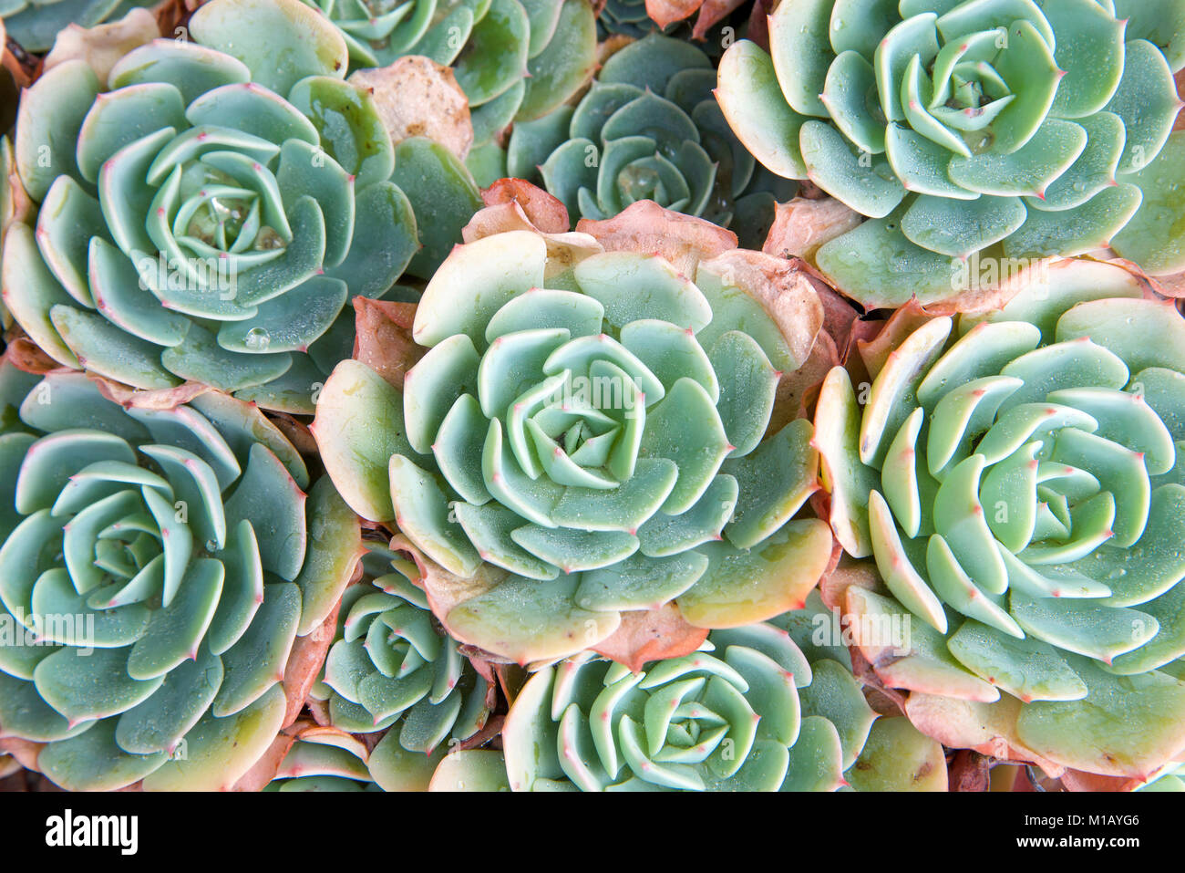 succulent echeveria with dying petals on edges. Echeveria is a large genus of flowering plants native to semi-desert - Stock Image