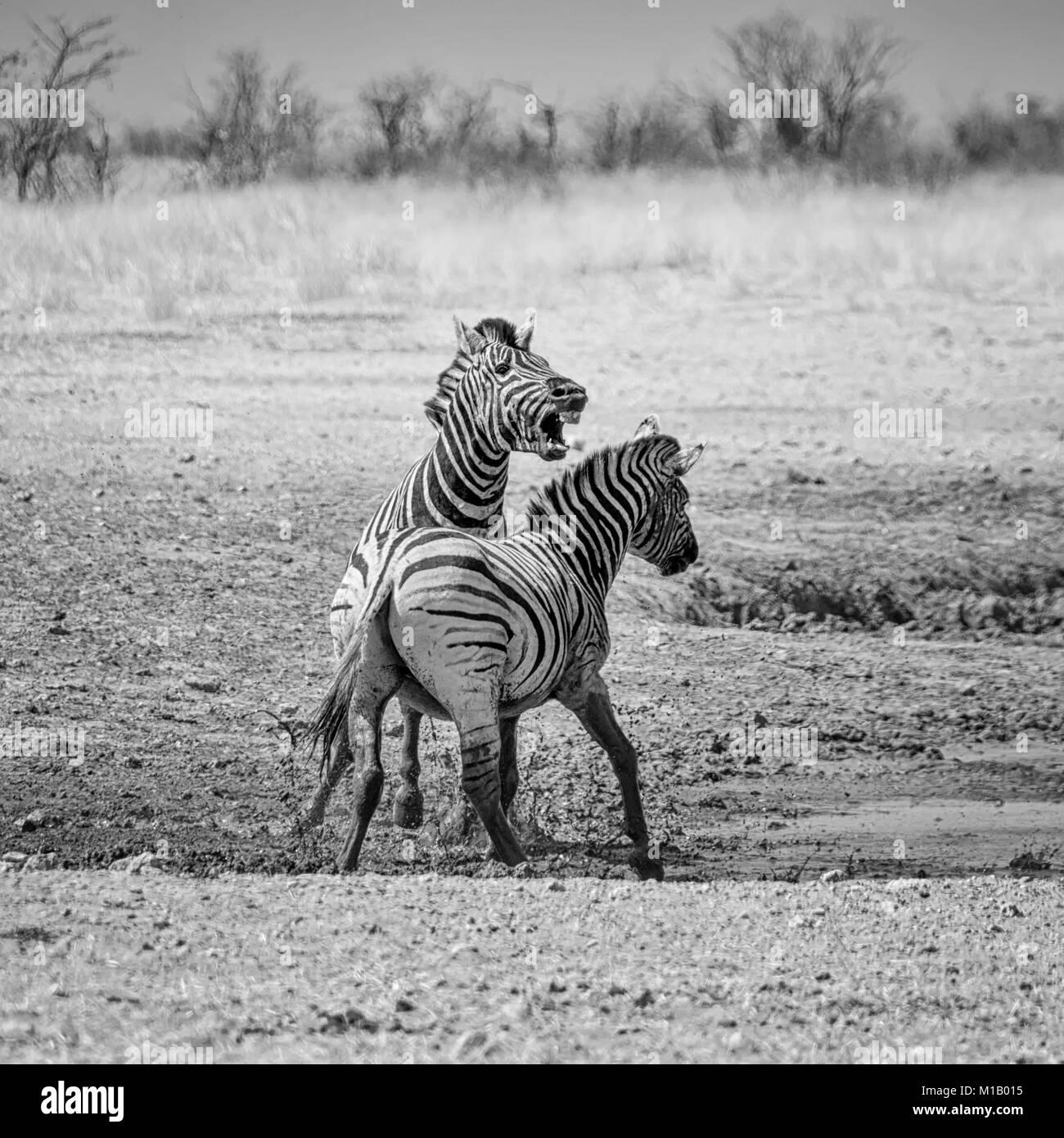 Zebra stallions fighting in the Namibian savanna - Stock Image