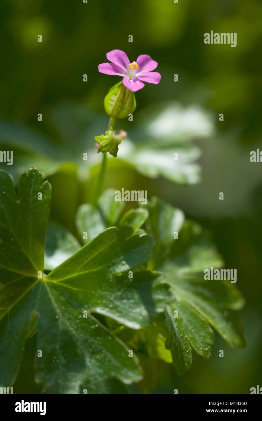 Geranium lucidum,Glaenzender Storchschnabel,Shining Cranesbill - Stock Image