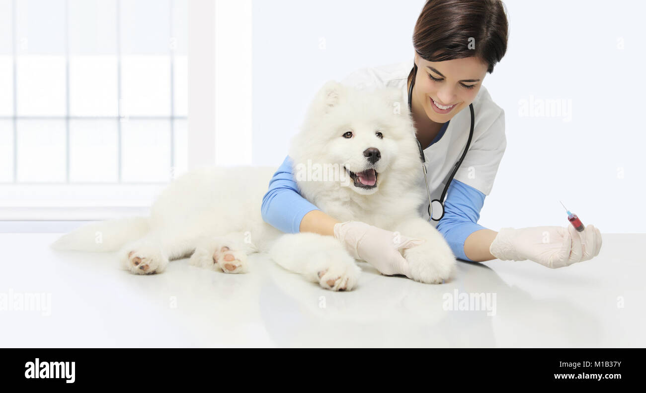 veterinary examination dog, blood test, smiling veterinarian with syringe on table in vet clinic - Stock Image