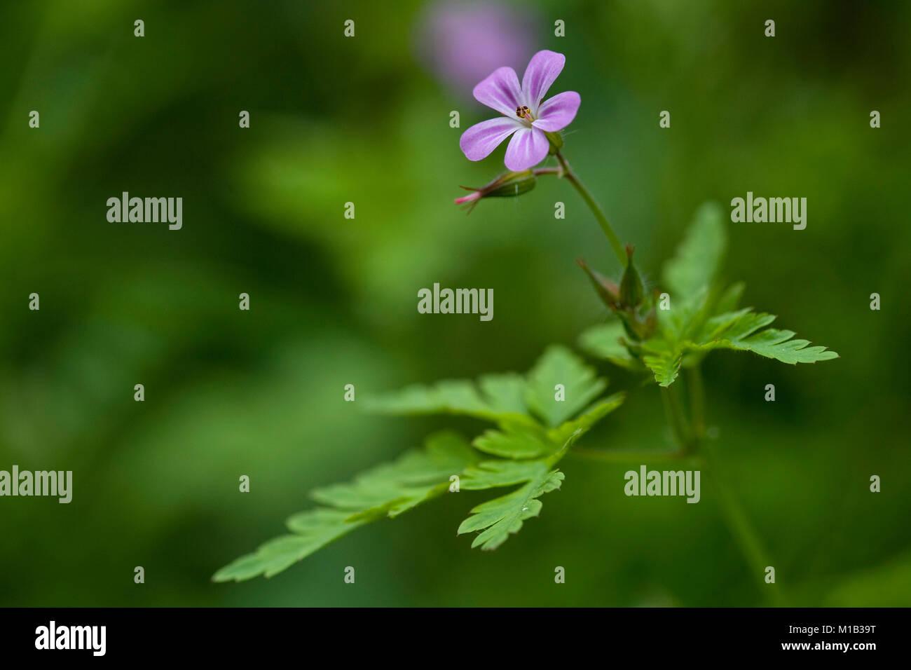 Geranium robertianum,Ruprechts Storchschnabel,Herb Robert - Stock Image