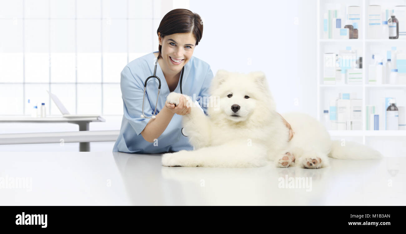 dog veterinary examination smiling Veterinarian check the dog's paw on table in vet clinic - Stock Image