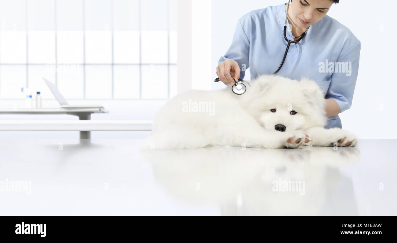 veterinary examination sick dog, veterinarian with stethoscope on table in vet clinic - Stock Image