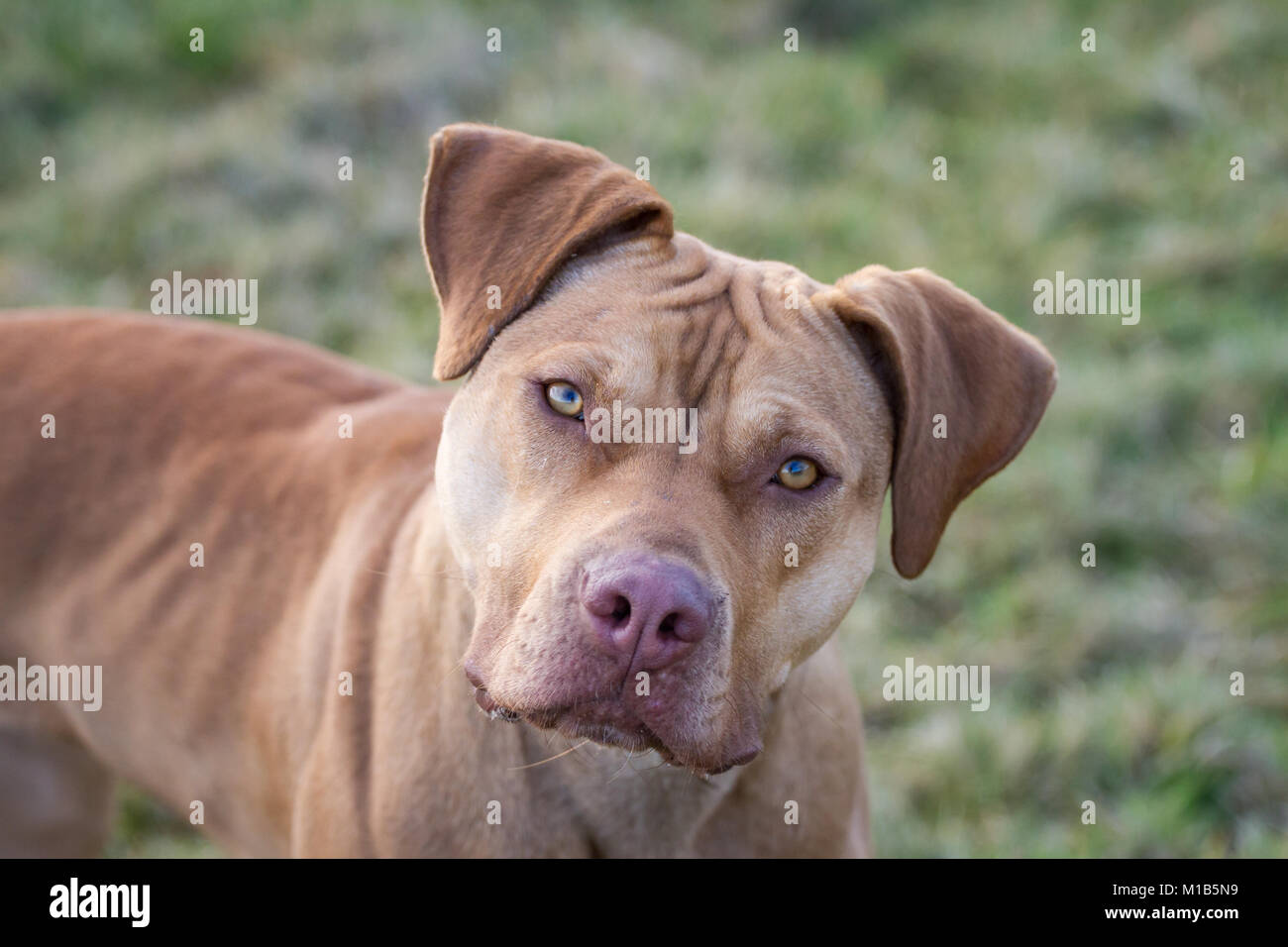 Portrait of a Working Pit Bulldog - Stock Image