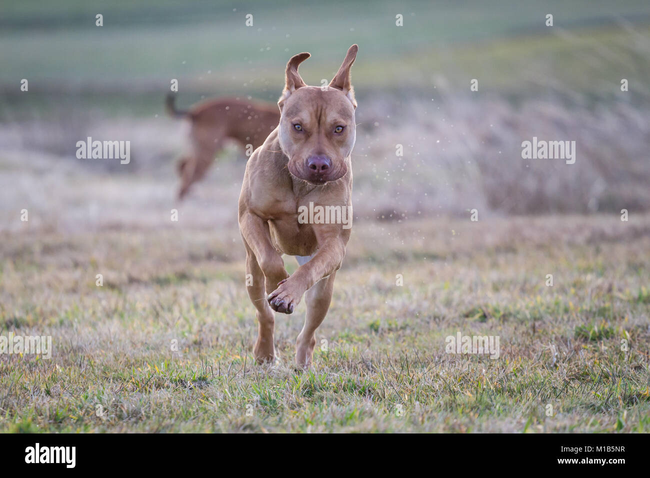 Working Pit Bulldog running on the meadow - Stock Image
