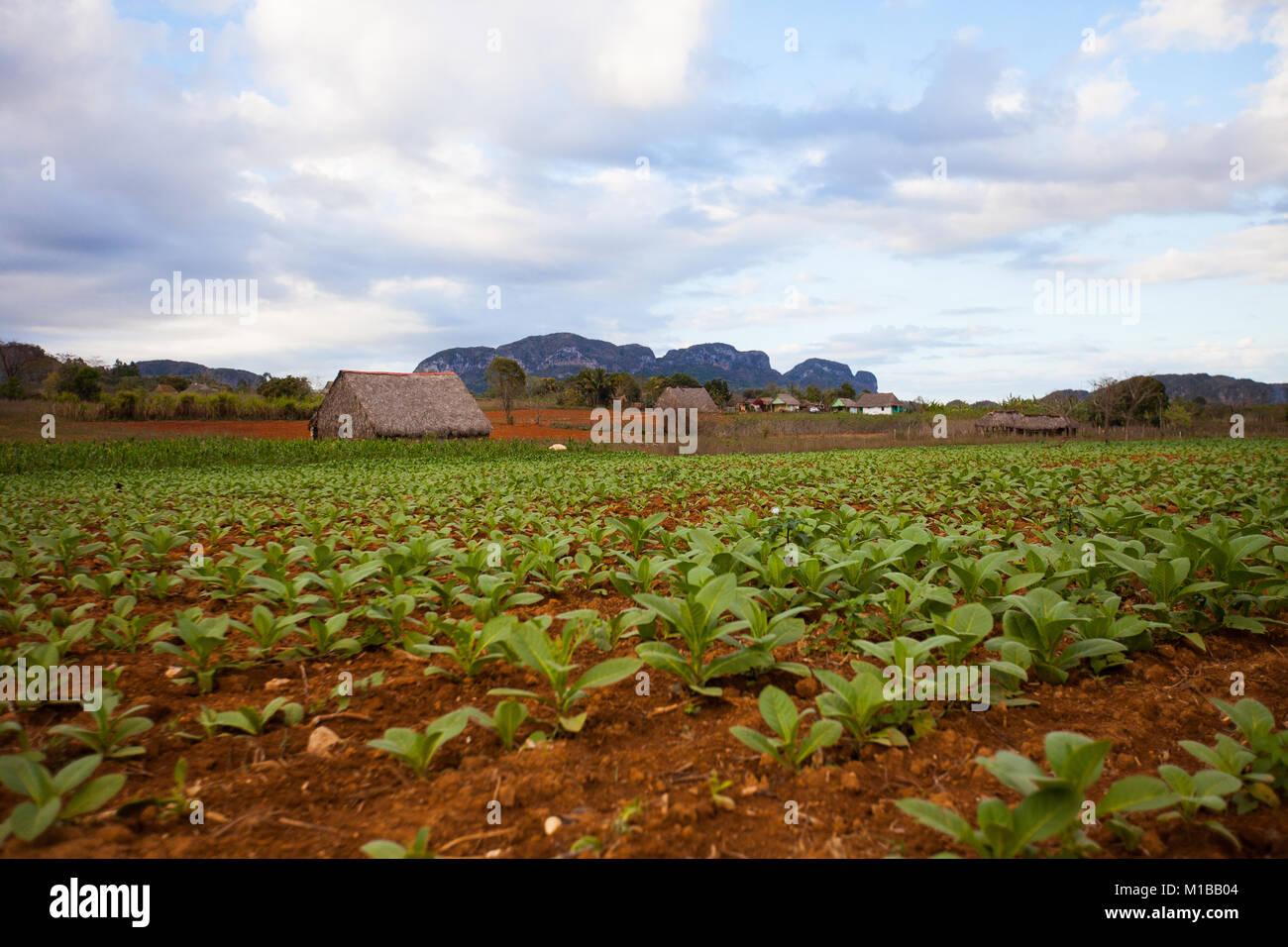 Tobacco Farm - Stock Image