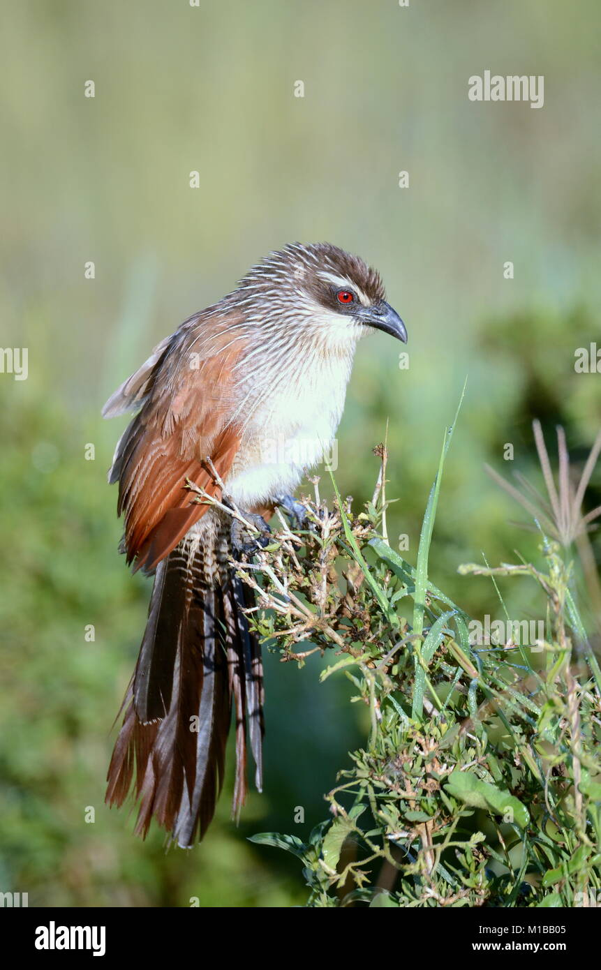 White-browed Coucal (Centropus superciliosus) in Tanzania - Stock Image