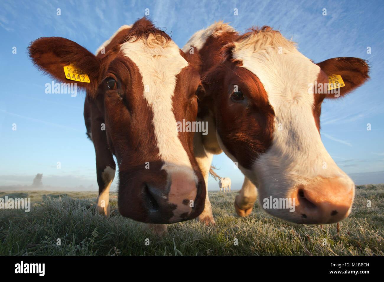 The Netherlands, Nederhorst den Berg. Cows. - Stock Image