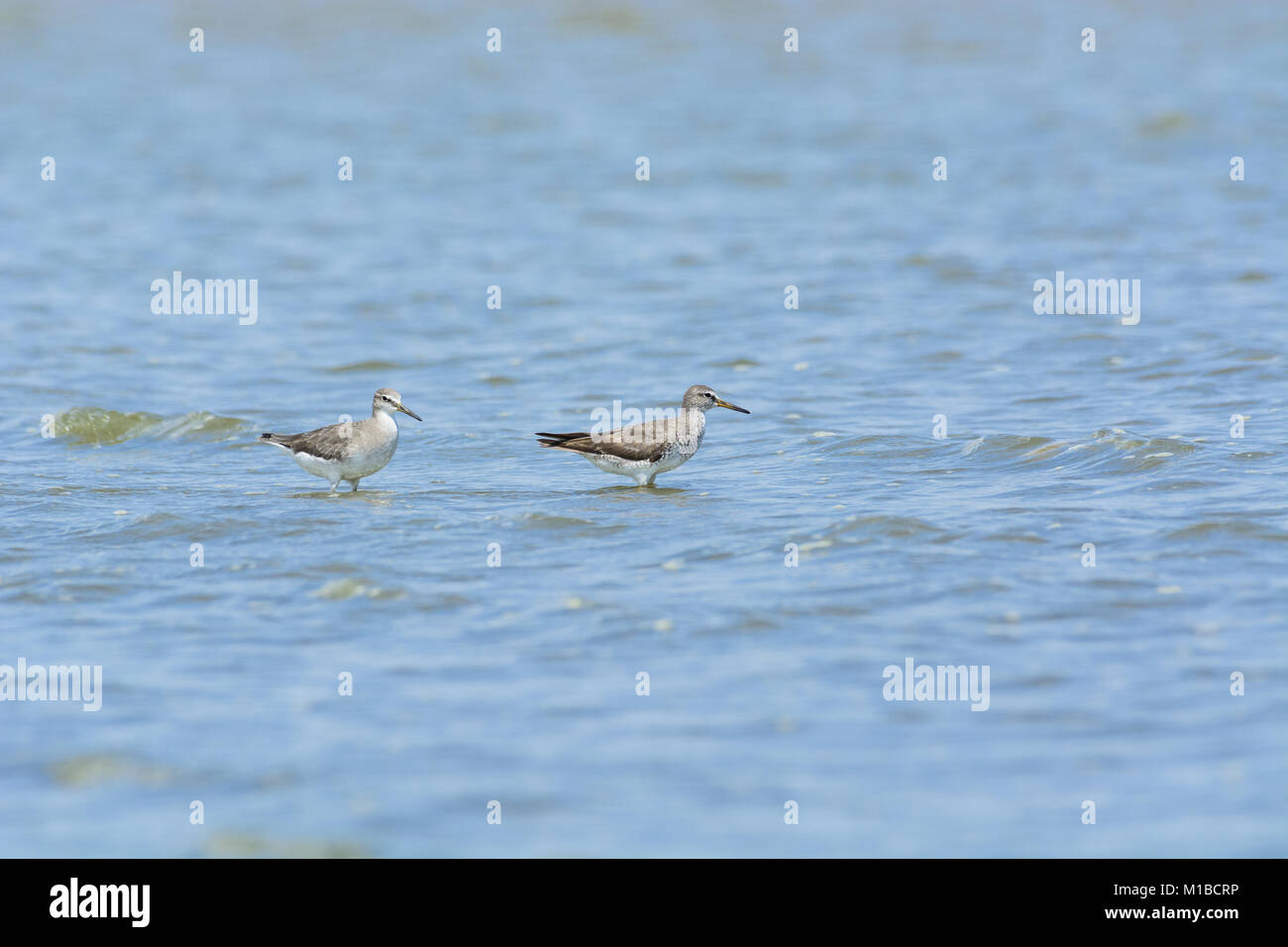 2 Grey-tailed Tattler (Tringa brevipes) on the sea. - Stock Image