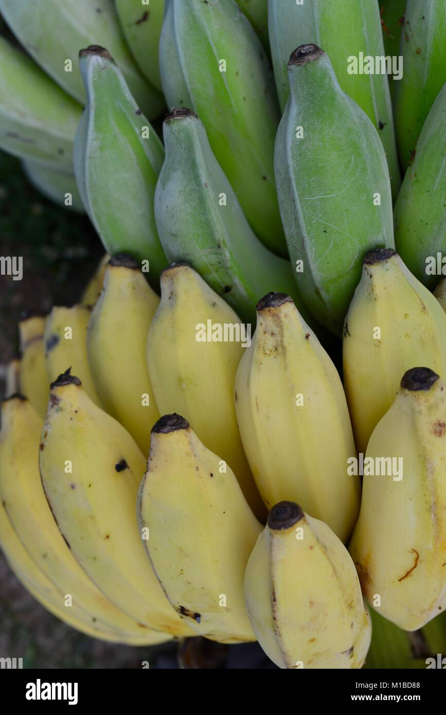 Banana bunch with unripe green bananas on top, and ripe yellow bananas on the bottom, providing a nice contrast, - Stock Image
