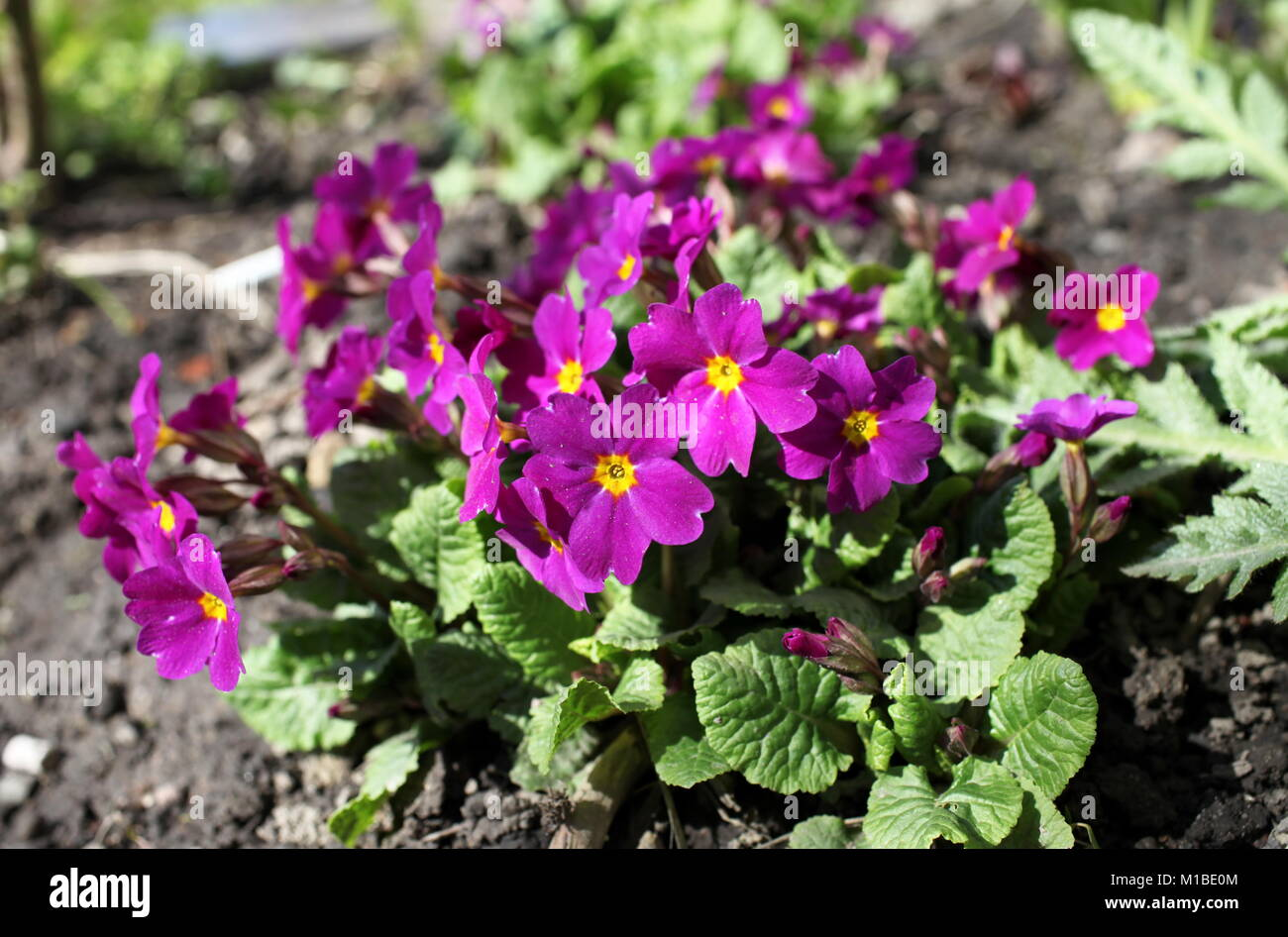 Spring First Rare Beautiful Flowers Primroses Stock Photo 172970804