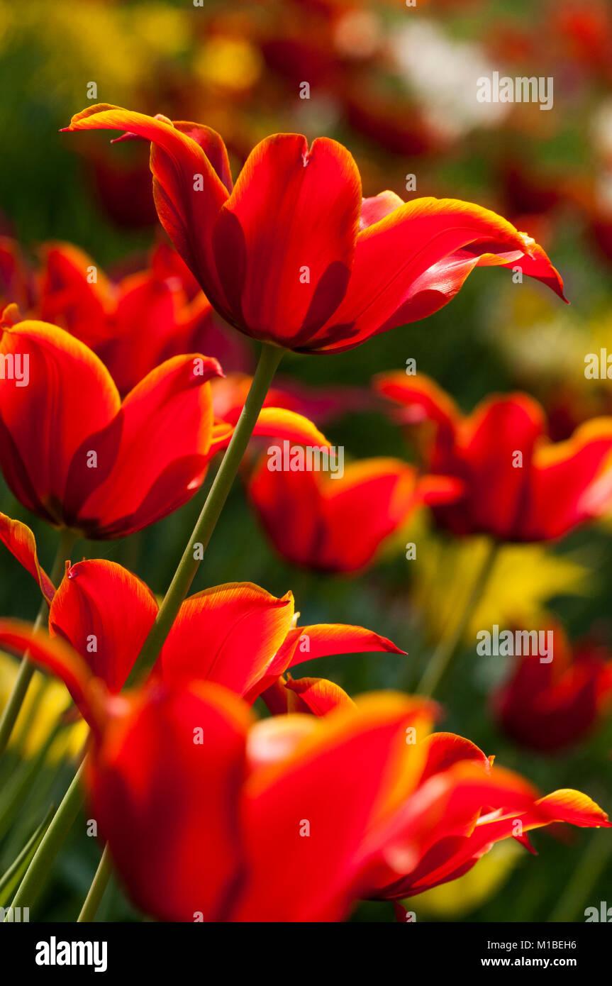 Tulpe - tulipa - tulip Stock Photo