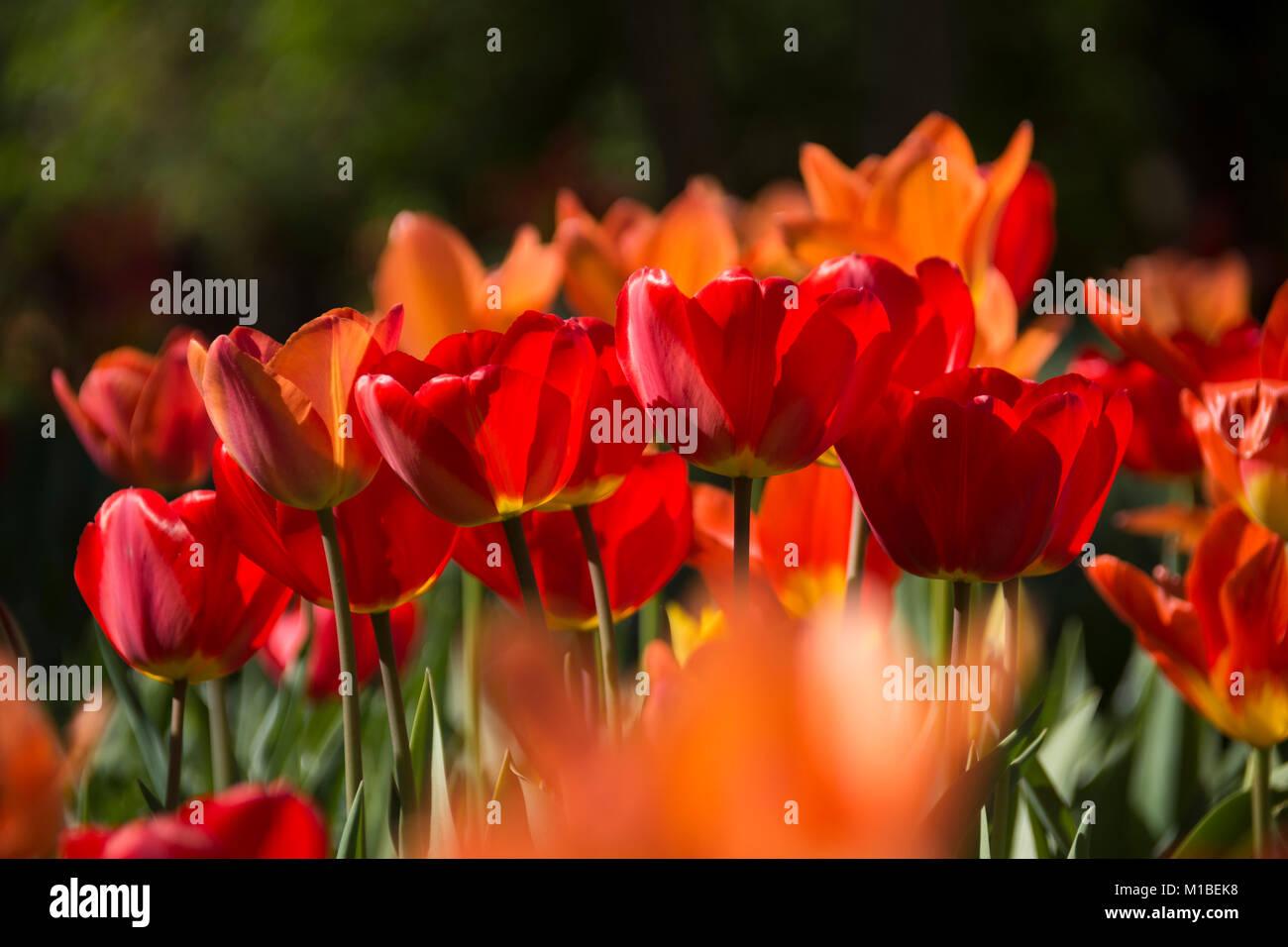 Tulpenbeet - bed of tulips Stock Photo