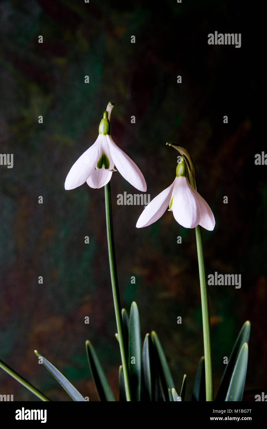 Close up of the flowers of Galanthus Magnet - Stock Image