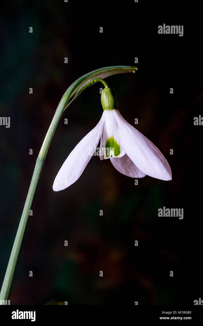 Close up of a single flower of Galanthus Magnet - Stock Image