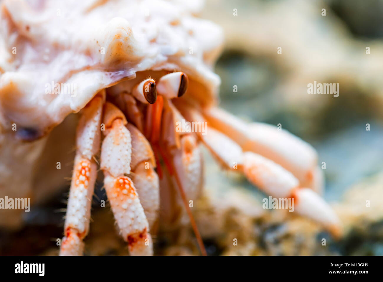 Hermit crab close-up - Stock Image